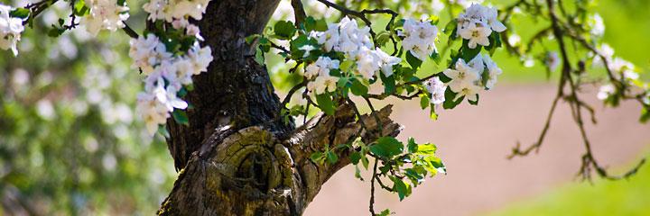 Wenn die Obstbäume im Frühjahr blühen, strömt ein wunderbarer Duft durch ganz Ransweiler. Hier die Blüten eines Apfelbaumes.