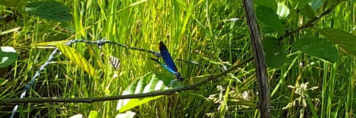 Blauflügel-Prachtlibellen kann man im Sommer oft am Bach beobachten