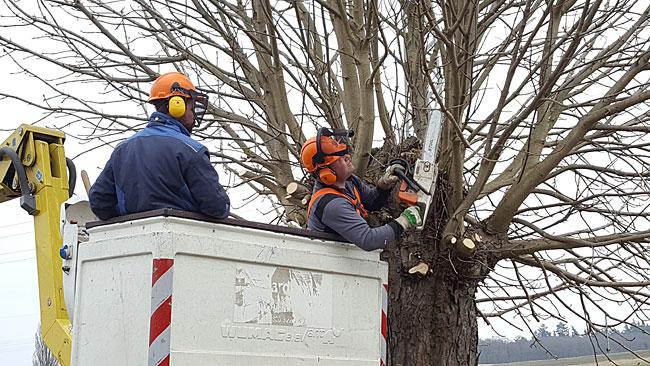 Enorme Erleichterung gegenüber früheren Baumschnittarbeiten brachte der Einsatz einer Hebebühne